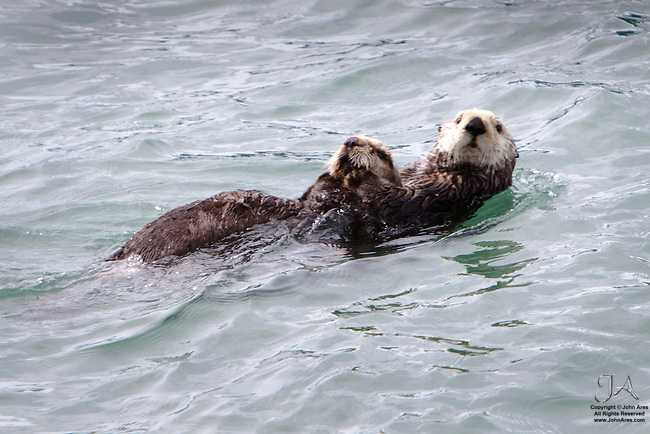 Otter mother and pup in Prince William Sound, Alaska