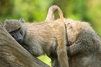 A female Olive Baboon, Papio anubis, presents her rump to a male in Lake Nakuru National Park, Kenya