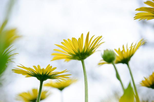Doronicum × excelsum 'Harpur Crewe'