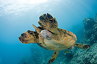 This green sea turtle, Chelonia mydas, has large fibropapilloma tumors on various parts of it's body. Soon the tumors will grow to cover both eyes and limit the turtles ability to locate a food source. Hawaii.
