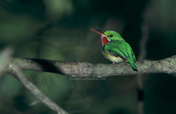Puerto Rican Tody, Todus mexicanus, adult, Maricao, Cordillera Central, Puerto Rico, USA