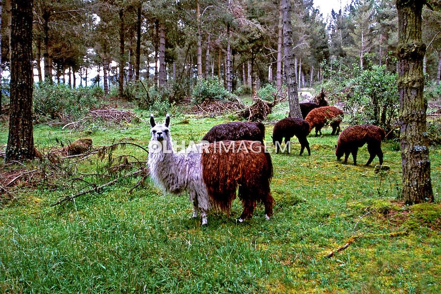Animais. Mamiferos. Lhamas (Lama glama). Foto de Juca Martins.