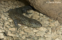 0524-1009  King's Skink, Egernia kingii  © David Kuhn/Dwight Kuhn Photography