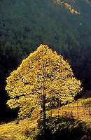 Lime tree, tilia vulgaris.  Sun catching the autumnal colours/colors of a solitary lime tree..
