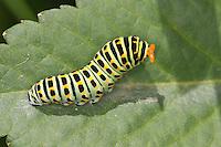 Schwalbenschwanz, Raupe mit ausgestülpter Nackengabel, das sogenanntes Osmaterium, das bei Gefahr ausgestülpt wird, Papilio machaon, swallowtail, swallow-tail