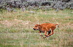 """Yellowstone National Park, WY: American Bison (Bison bison),  calf also known as """"red dogs"""" running through the grass in the Lamar Valley"""