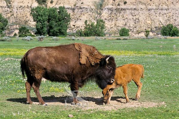 American Bison (Bison bison) cow and calf.  Western U.S., summer.