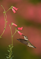 Ruby-throated Hummingbird (Archilochus colubris), female feeding on Rock Penstemon (Penstemon baccharifolius), Hill Country, Central Texas, USA