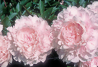 Lavender pink blooms of Peony Lady Orchid