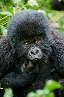 Six month old Mountain gorilla playfully contemplates his reflection in the camera lens., Kwitonda Mountain Gorilla Troop, Volcanoes National Park, Rwanda