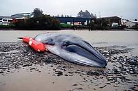 stranded Bryde's whale, Balaenoptera edeni, Whangerei, New Zealand