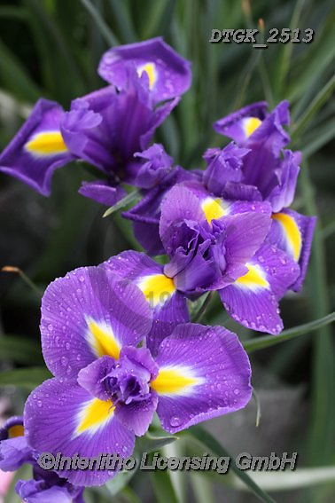 Gisela, FLOWERS, BLUMEN, FLORES, photos+++++,DTGK2513,#f#, EVERYDAY