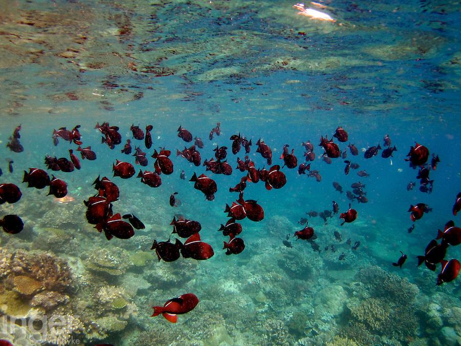 Indian Black Triggerfish, Christmas Island, Indian Ocean