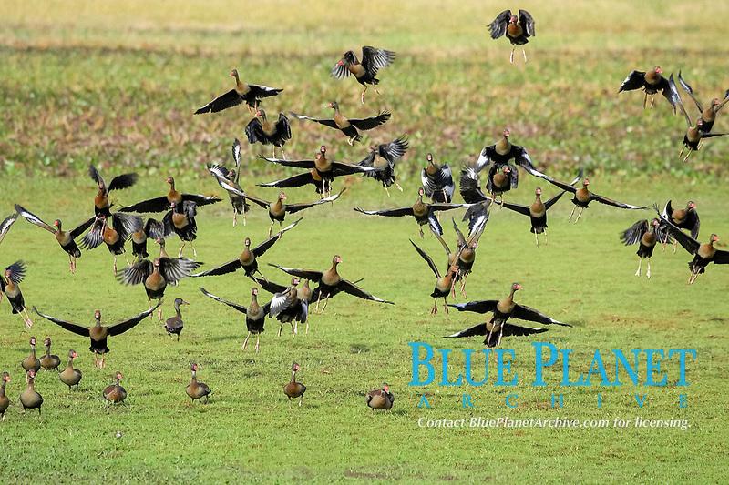flock of black-bellied whistling ducks, Dendrocygna autumnalis, flying, Los Lianos, Venezuela, South America