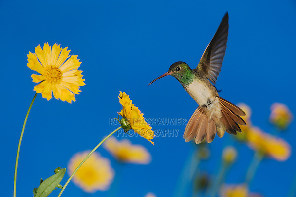 Buff-bellied Hummingbird (Amazilia yucatanenensis), Sinton, Corpus Christi, Coastal Bend, Texas Coast, USA