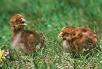 Rhode Island Red Chickens