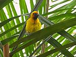 Black-necked Weaver; our lunatic bird