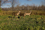 White-tailed deer in fall