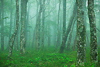 Spring Forest along the AT, Unaka Mountain, Appalachian National Scenic Trail