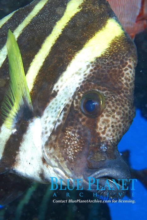 whiskered armorhead or boarfish, Evistias acutirostris, Midway Atoll, Papahanaumokuakea Marine National Monument, Northwestern Hawaiian Islands, Hawaii, USA, Pacific Ocean