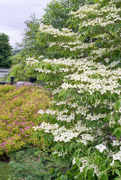 Cornus kousa, Korean dogwood in bloom in spring with Spiraea