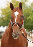 11 September 2010.  Hip #95  Giant's Causeway - Spain colt, consigned by Eaton Sales.