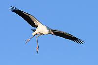 Wood Stork (Mycteria americana). Palm Beach County, Florida. March.