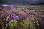 Vast fields of wildflowers carpet a spartan landscape, Eastern Taurus Mountains, Turkey