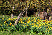 Dazzling Daffodils in bloom - Spring sunshine brings out the flowers on the Wimpole Estate near Cambridge on March 8th 2020<br /> <br /> Photo by Keith Mayhew