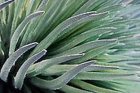 Beautiful closeup photo of the Silversword plant in HALEAKALA NATIONAL PARK on Maui in Hawaii
