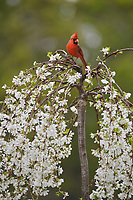 Northern Cardinal ( Cardinalis cardinalis), adult male perched on blooming Weeping Cherry Tree (Prunus sp.), Hill Country, Central Texas, USA