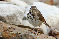 Hermit Thrushes have one of the most amazing songs of all North American birds. How they are able to produce such flute-like notes is a true wonder of nature.