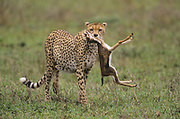 Cheetah (Acinonyx jubatus), adult with Thomson's gazelle (Eudorcas thomsoni) prey, Serengeti National Park, Tanzania, Africa