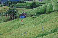 Jatiluwih, Bali, Indonesia.  Terraced Rice Fields.  Banana Plants on left.