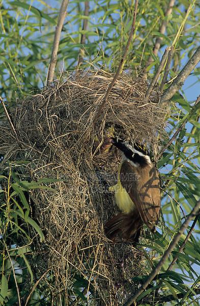Great Kiskadee, Pitangus sulphuratus, adult on nest in willow tree, Welder Wildlife Refuge, Sinton, Texas, USA, June 2005