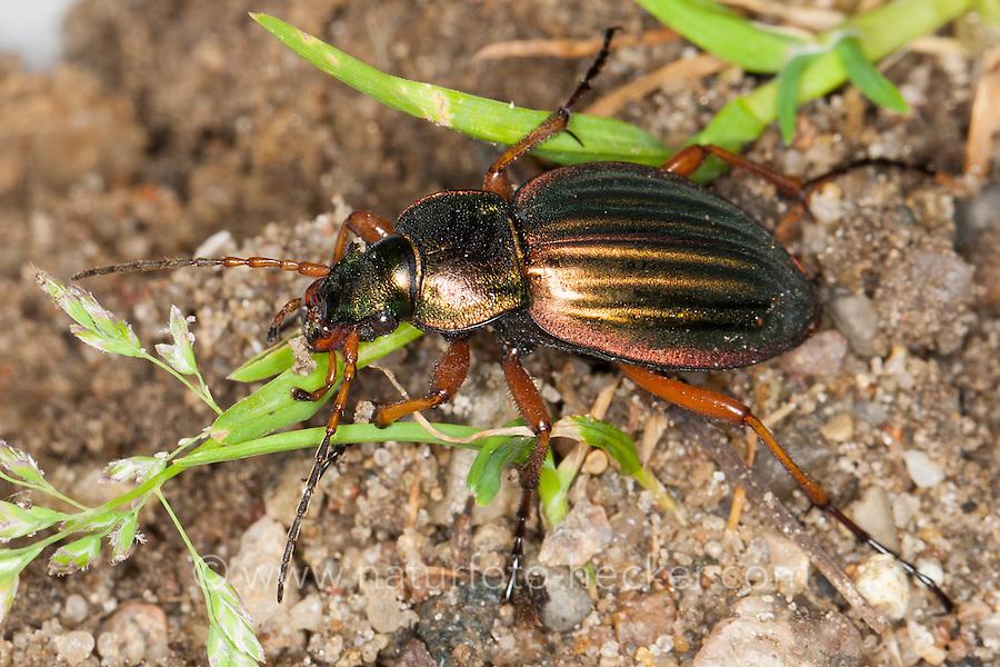 Gold-Laufkäfer, Goldlaufkäfer, Goldschmied, Goldiger Laufkäfer, Goldhenne, Carabus auratus, golden ground beetle