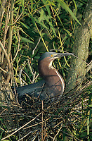 Green Heron, Butorides virescens,adult in nest incubating eggs, Welder Wildlife Refuge, Sinton, Texas, USA, June 2005