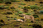 Mountain Lion (Puma concolor) dominant female standing over submissive female, Torres del Paine National Park, Patagonia, Chile