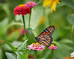 Monarch Butterfly on a Zinnia Flower. Image taken with a Nikon D5 camera and 200-500 mm f/5.6 lens.
