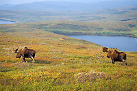 moose, Alces alces, pair of bull with large antlers in velvet, Denali National Park, interior of, Alaska, USA