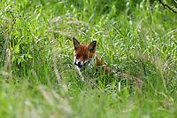 Rotfuchs, Rot-Fuchs, Fuchs, mit erbeuteter Maus, Vulpes vulpes, red fox, Le Renard roux, Renard commun, Renard rouge
