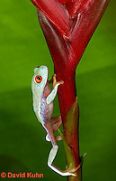 0306-0925  Red-eyed Tree Froglet (Young Frog) Climbing, Agalychnis callidryas  © David Kuhn/Dwight Kuhn Photography.