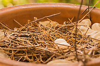 Two small eggs are in a nest built by mourning doves in a planter on a home's front porch.  They are seen here between 'shifts' as the male and female pair take turns incubating the eggs.