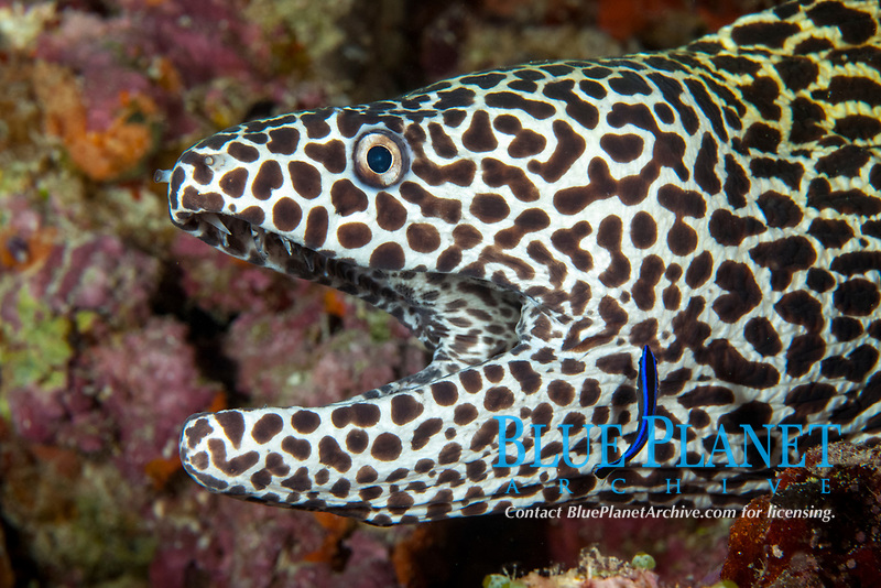 laced moray, leopard moray, tessellate moray, or honeycomb moray, Gymnothorax favagineus, being cleaned by a cleaner wrasse, Labroides sp., Maldives, Indian Ocean
