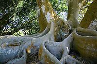 Banyan tree, Sarasotta, Florida