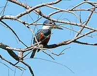 Ringed kingfisher female in tree. This largest kingfisher was found at the Sabal Palms Audubon Refuge near Brownsville. The birds are regulars there, but very spooky and hard (for me) to photograph.