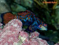 0118-08ww  Mandarin dragonet - Mandarin goby - Synchiropus splendidus © David Kuhn/Dwight Kuhn Photography
