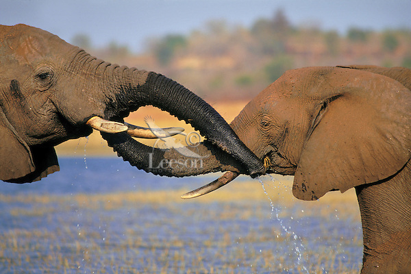 African Elephants.greeting one another by putting trunks in or to eachothers mouth..(Loxodonta africana).