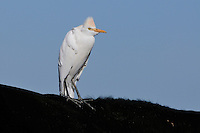 Cattle Egret (Bubulcus ibis), adult perched on cow, Dinero, Lake Corpus Christi, South Texas, USA