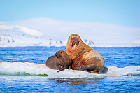 Atlantic walrus, Odobenus rosmarus rosmarus, mother and calf, resting on ice floe, Lagoya, Svalbard, Norway, Atlantic Ocean